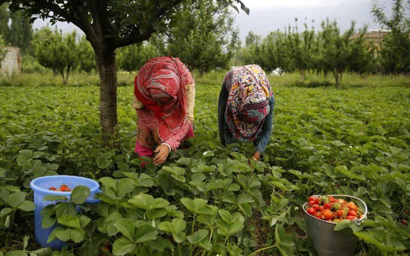 La fermeture des frontières aériennes et maritimes marocaines a eu un impact négatif sur la production des fermes de fraise en Espagne. En cause, la troisième vague de travailleuses marocaines, qui ont reçu leur permis de travail de la part des autorités marocaines et espagnoles, sont dans l'incapacité de passer de l'autre côté de la Méditerranée.
