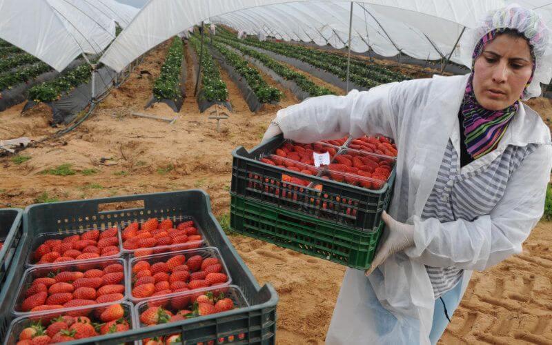 Sur un total estimé à 16500 ouvrières saisonnières marocaines travaillant dans la cueillette des fraises en Espagne pour la saison 2020, seul un groupe de 7086 personnes a pu rejoindre Huelva, compte tenu du contexte actuel.