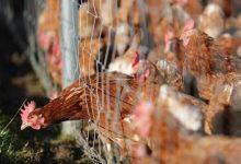 Photo de Chine: Le coronavirus découvert sur du poulet importé du Brésil