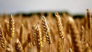 Photo de L'Ukraine pourrait devenir en 2021,premier fournisseur de blé au Maroc en dépassant la France qui l'est jusque-là et la Russie. C'est du moins ce qu'indiquent les données du Département américain de l'agriculture (USDA).